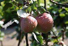Apfelbaum Gloster LH 130-150 cm, Äpfel rot-grün,