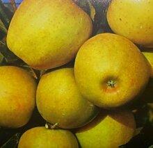 Apfelbaum Golden Delicious Apfel Golden Delicious