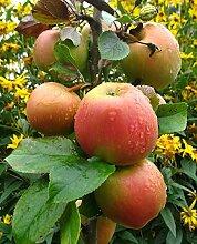 Apfelbaum, Goldparmäne, Malus domestica, Obstbaum