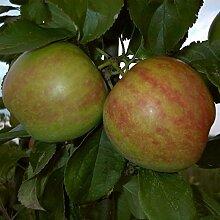Apfelbaum, Gravensteiner , Malus domestica,