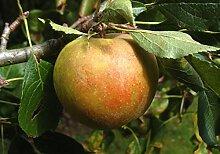 Apfelbaum, Holsteiner Cox, Malus domestica,