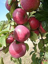 Apfelbaum, Jamba, Malus domestica, Obstbaum