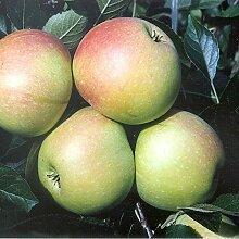 Apfelbaum James Grieve saftig süßer Sommerapfel
