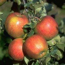 Apfelbaum Jonagold 10 L Co.