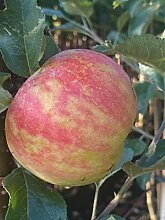 Apfelbaum, Karneval, Malus domestica, Obstbaum