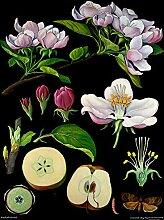Apfelbaum - Lehrtafel (klein) - Dekoposter - 60 cm