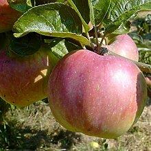 Apfelbaum Ontarioapfel robuster Winterapfel mit