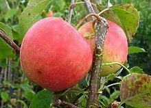 Apfelbaum, Pinova, Malus domestica, Obstbaum
