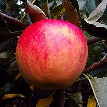 Apfelbaum, Piros, Malus domestica, Obstbaum