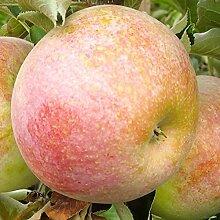 Apfelbaum Pompink LH 80 - 100 cm, Äpfel rot,