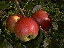 Apfelbaum Reglindis LH 130-150 cm, Äpfel rot,