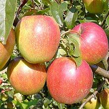 Apfelbaum Rewena Winterapfel mehrfach resistent