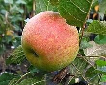 Apfelbaum Rondo LH 80 - 100 cm, Äpfel grün-gelb,