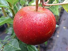 Apfelbaum, Roter Boskoop, Malus domestica,