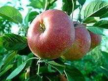 Apfelbaum, Rubinola, Malus domestica, Obstbaum