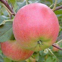 Apfelbaum Rubinola (S) robuster Herbstapfel