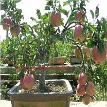 Apfelbaum-Samen 30 Samen / Beutel, Bonsai für
