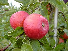Apfelbaum, Santana, Malus domestica, Obstbaum