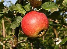 Apfelbaum Shampion LH 130-150 cm, Äpfel rot-gelb,