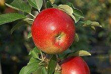 Apfelbaum Sonate LH 80 - 100 cm, Äpfel