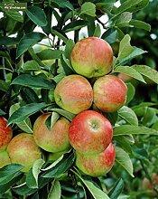 Apfelbaum - Sorte Malus domestica Elstar - 60-80cm