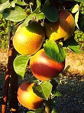 Apfelbaum Spurkoop LH 80 - 100 cm, Äpfel rot,