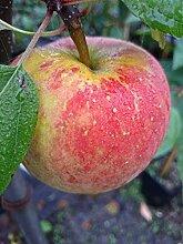 Apfelbaum, Topaz, Malus domestica, Obstbaum