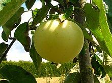 Apfelbaum Weißer Klarapfel LH 130-150 cm, Äpfel