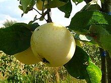Apfelbaum, Weißer Klarapfel, Malus domestica,