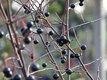 Apfelbeere 'Hugin' - Aronia melanocarpa