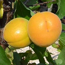 Aprikosenbaum Goldrich großfrüchtige Aprikose