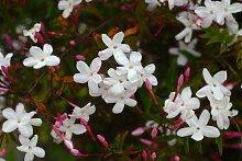 Arabischer 'Officinale' Duft weißer Jasmin Climber von Plants4Less
