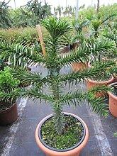 Araucaria araucana - Andentanne - chilenische