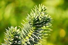 Araucaria araucana - Chilenische Araukarie -