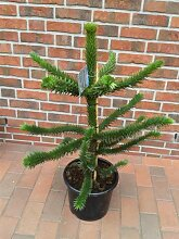 Araucaria araucana, Höhe: 100-110 cm, Affenbaum, Affenschaukel, Andentanne, winterharte Pflanze ! + Dünger