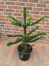 Araucaria araucana, Höhe: 120-130 cm, Affenbaum, Affenschaukel, Andentanne, winterharte Pflanze ! + Dünger