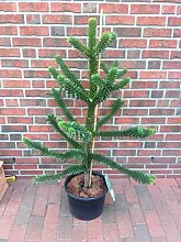 Araucaria araucana, Höhe: 140-150 cm,Schmucktanne, Affenbaum, Affenschaukel, Andentanne, winterharte Pflanze + Dünger