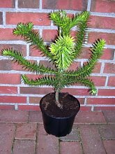 Araucaria araucana, Höhe:50-55 cm,Schmucktanne, Affenbaum, Affenschaukel, Andentanne, winterharte Pflanze !
