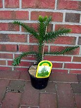 Araucaria araucana, Höhe: 60-70 cm,Schmucktanne,