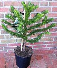 Araucaria araucana, Höhe: 80-90 cm,Schmucktanne,