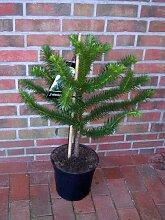 Araucaria araucana, Höhe: 90-100 cm, Affenbaum, Affenschaukel, Andentanne, winterharte Pflanze ! + Dünger