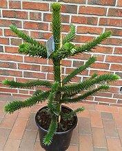 Araucaria araucana, Höhe: 90-100 cm, Affenbaum,