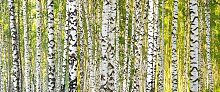 Architects Paper Fototapete Birch Forest,