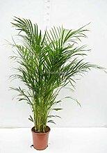 Areca Palme - Goldfruchtpalme - Chrysalidocarpus