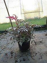 Arends Garten-Prachtspiere Key West Staude rot blühend Solitär-Staude Hell-Schatten Astilbe x arendsii im 3 Liter Topf 1 Pflanze