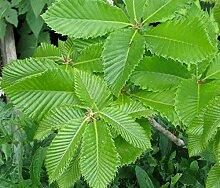 Armenische Eiche Quercus pontica Pflanze 25-30cm