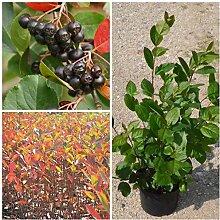 Aronia, schwarze Apfelbeere, großfruchtige Sorte Nero, ca. 60-80 cm, Pflanze im 3 Liter Topf