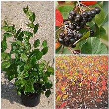 Aronia, Sorte Aron, schwarze Apfelbeere, dänische Sorte ca. 60-80 cm, Pflanze im 3 Liter Topf