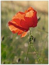 Artland Glasbild Mohnblume, Blumen (1 Stück) 60