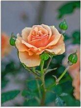 Artland Glasbild Orange Rose, Blumen (1 Stück)